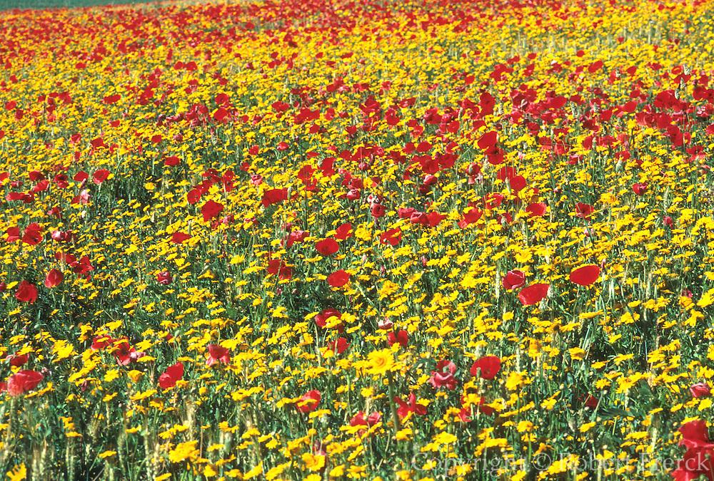 SPAIN, ANDALUSIA wildflowers near Ronda