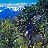 Members of a National Geographic archaeology expedition ride up a steep trail towards Victoria Pass in the Cordillera Vilcabamba, Cuzco District, Andes Mountains.  Behind them is Peru Nevado Sacsarayoc.