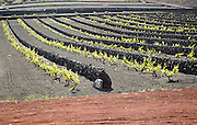 Rows of grapevines with black volcano soils and stone wall, Lanzarote, La Geria, Canary Islands, Spain