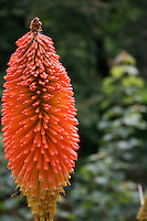 Close up of red hot poker plant in Irish garden