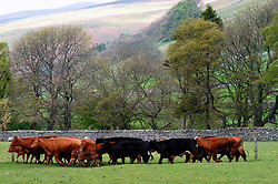 Farmer rounds up cattle in field Arncliffe Yorkshire Dales UK