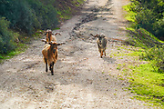A herd of free grazing goats. Photographed on Poros island, Greece Poros is a small Greek island-pair in the southern part of the Saronic Gulf, Greece