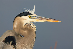 Great blue heron (Ardea herodias) portrait, Bosque del Apache National Wildlife Refuge, New Mexico, USA