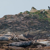 Harbor Seals (Phoca vitulina) rest on rocks near Pescadero, California as Pacific Ocean surf pounds behind them. Cormarants perch on a crag behind them.