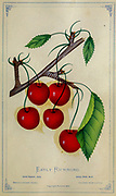 The Early Richmond Cherry is an antique variety and has been grown in England. It is widely known as the old Kentish Cherry. It was brought to America by early settlers for its excellent preserving and drying qualities, its vigorous growth characteristics, and the ability to thrive in a variety of growing conditions from Dewey's Pocket Series ' The nurseryman's pocket specimen book : colored from nature : fruits, flowers, ornamental trees, shrubs, roses, &c by Dewey, D. M. (Dellon Marcus), 1819-1889, publisher; Mason, S.F Published in Rochester, NY by D.M. Dewey in 1872