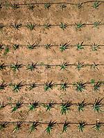 Aerial view of Aloe-vera plantation in Fuerteventura, Canary Islands.