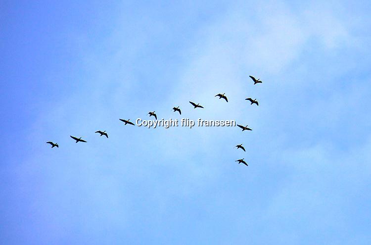 Nederland, Nijmegen, 6-10-2020  Ganzen vliegen in v formatie vanuit de ooijpolder aan rivier de waal naar hun overwinteringsgebied . Foto: ANP/ Hollandse Hoogte/ Flip Franssen