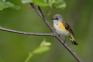 American Redstart - Setophaga ruticilla - Immature male