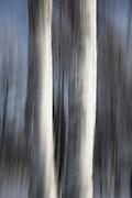 Patterns of aspen trees in snow against the gray winter sky of Alaska, Alaska,USA