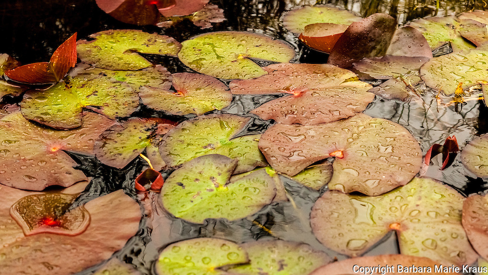 Yellow, grean and orange lily pads covered with raindrops float in dark water.