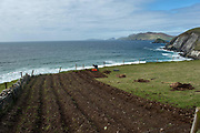 In time honoured tradition, a Kerry farmer digs his ridges and plants 'rooster potatoes' in a field overlooking Coomeenole Beach with the wild Atlantic Ocean andThe Blasket Islands in the distance on Monday. Planting potatoes is nearly a  month behind schedule due to the inclement weather this year.<br /> Picture by Don MacMonagle