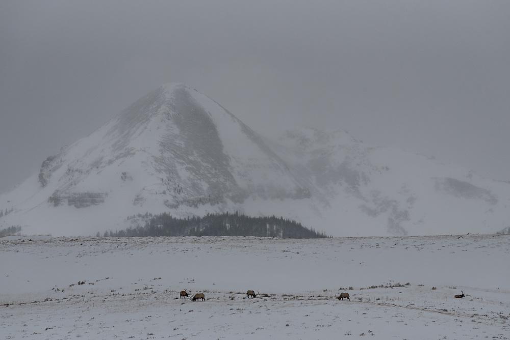 A bachelor group of bull elk graze on a hillside on Swan Lake Flats, Yellowstone