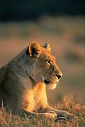 Portrait of Lioness (Panthera leo) resting at dusk, Okavango Delta, Botswana