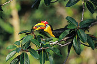 Wrinkled Hornbill (Aceros corrugatus) male eating fig.  Gunung Palung N.P., Borneo, Indonesia..IUCN Red List: Near Threatened