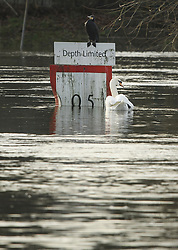 © Licensed to London News Pictures. 22/12/2019. Thames Ditton, UK. Swans swim past a depth indicator in The River Thames which has burst it's banks at Thames Ditton, Surrey. Further weather warnings are in place following flooding and high winds in parts of the UK . Photo credit: Ben Cawthra/LNP