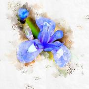Digitally enhanced image of a Blue Iris or Barbary Nut, (Moraea sisyrinchium syn. Gynandriris sisyrinchium) Photographed in Israel in March a dwarf iris, in the genus Moraea, native to southern Europe and the Mediterranean region