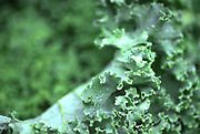 Close up selective focus photograph of some Kale leaves