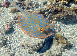 """A Blue Spotted Lagoon Ray (Taeniura lymna) hovers in the shallows in Deception Bay.  The rays move into shallow water to feed as the tide rises, moving to the safety of the reef as it falls.  The IUCN has listed the rays as """"near threatened"""" due to the destruction of their habitat."""