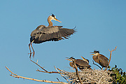Stock photo of great blue heron.  A herons diet consists of fish, amphibians, and small mammals.