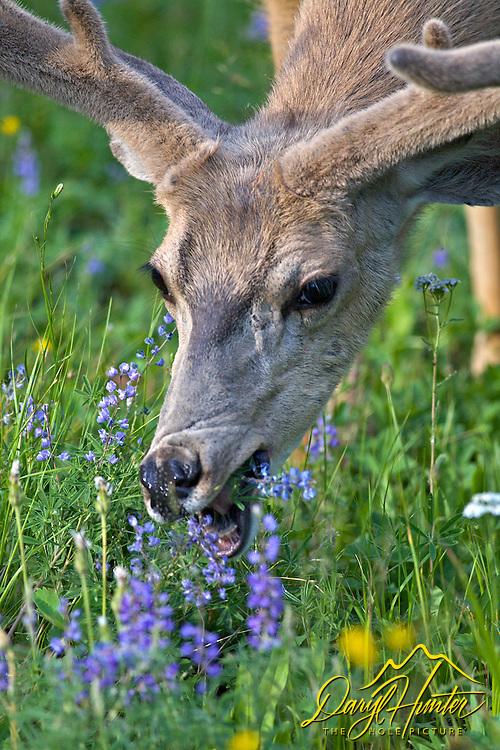 Buck mule deer graze on lupin in Yellowstone National Park