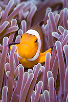 """Far from the idyllic """"Nemo"""" life in a host anemon, within a group of clownfish, there is a strict hierarchy of dominance. The largest and most aggressive female is found at the top. Only two clownfish, a male and a female, in a group reproduce through external fertilization. The clownfish are hermaphrodites, meaning that they develop into males first, and when they mature, they become females. If the female clownfish is removed from the group, such as by death, one of the largest and most dominant males would become a female. The rest of the remaining males will move up a rank on the hierarchy."""