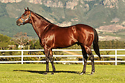 Trippi (stallion) stands for a confirmation image at Drakenstein Farm. Image by Greg Beadle Images captured by Greg Beadle