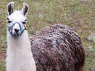 A llama (Lama glama) named Quinault with a dusting of snow on her back unmelted due to the high insulating quality of her thick wool, Kitsap Peninsula, Washington, USA