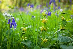 Archangel growing with stitchwort, wild garlic and bluebells in a wood near Sissinghurst. Lamiastrum galeobdolon