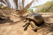 The Aldabra giant tortoise (Aldabrachelys gigantea), from the islands of the Aldabra Atoll in the Seychelles, is one of the largest tortoises in the world