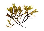 grape pip weed<br /> Mastocarpus stellatus