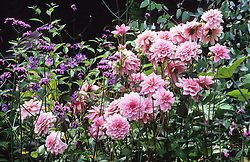 Dahlia 'Pearl of Heemstede', Verbena bonariensis and Solanum  rantonnettii in the Exotic Garden at Great Dixter
