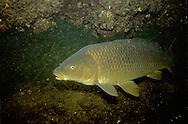 Common Carp, Lake Michigan<br /> <br /> ENGBRETSON UNDERWATER PHOTO