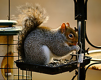 Grey Squirrel. Image taken with a Fuji X-T3 camera and 200 mm f/2 lens with 1.4x TC