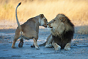 A mating pair of lions   (Panthera Leo) during their three day mating ritual , Khwai River, Botswana,Africa