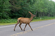 A spike bull elk crosses State Highway 77 near Clam Lake, Wisconsin