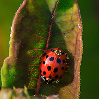 Close-up of a multicolored Asian lady beetle (Harmonia axyridis) on a purple milkweed (Asclepias purpurascens) leaf, Huntley Meadows Park, Alexandria, Virginia.  Originally introduced as a biocontrol agent for aphids and scales, this lady beetle is now considered a nuisance species in some areas due to its habit of hibernating in houses and its ability to outcompete native insect predators.