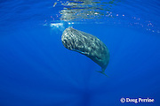 curious juvenile female sperm whale, Physeter macrocephalus ( Endangered Species ) hangs just below the ocean's surface, eyeing the photographer and releasing bubbles through her blowhole, Kona, Hawaii Island ( the Big Island ), Hawaii, U.S.A.  ( Central Pacific Ocean )