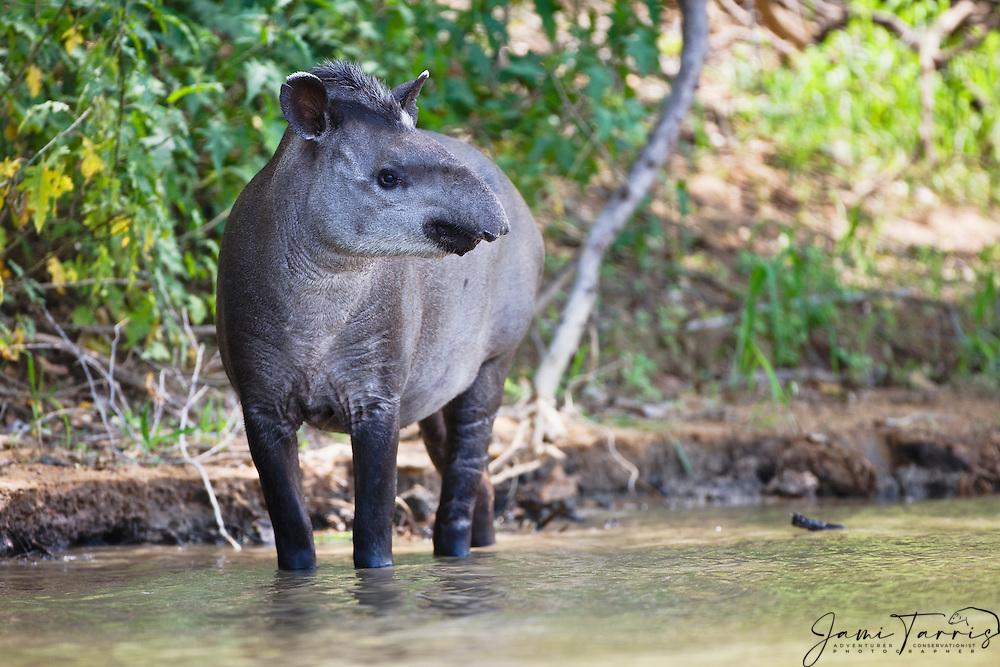 A tapir (Tapirus terrestris) walks along the river's edge in the morning, Mato Grosso, Pantanal, Brazil,South America