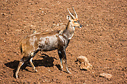 Male Cameroon Bushbuck (Tragelaphus scriptus) Photographed in Tanzania
