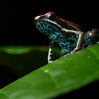 Ecuador Poison Frog (Ameerega bilinguis). Yasuní National Park, Ecuador.