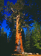 The Grizzly Giant, 209 feet high, 27 feet in diameter and approximately 2,700 years old, Mariposa Grove of Giant Sequoias, Sequoia gigantea, Yosemite National Park, California.