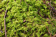 Oregon Beaked Moss; desnsely triangular, loose mats, very neatly pinnate