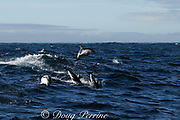 dusky dolphins, Lagenorhynchus obscurus, leaping and porpoising, Kaikourua, South Island, New Zealand ( South Pacific Ocean )