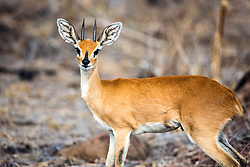 Buck Steenbock, the smallest of Africa's antelope.