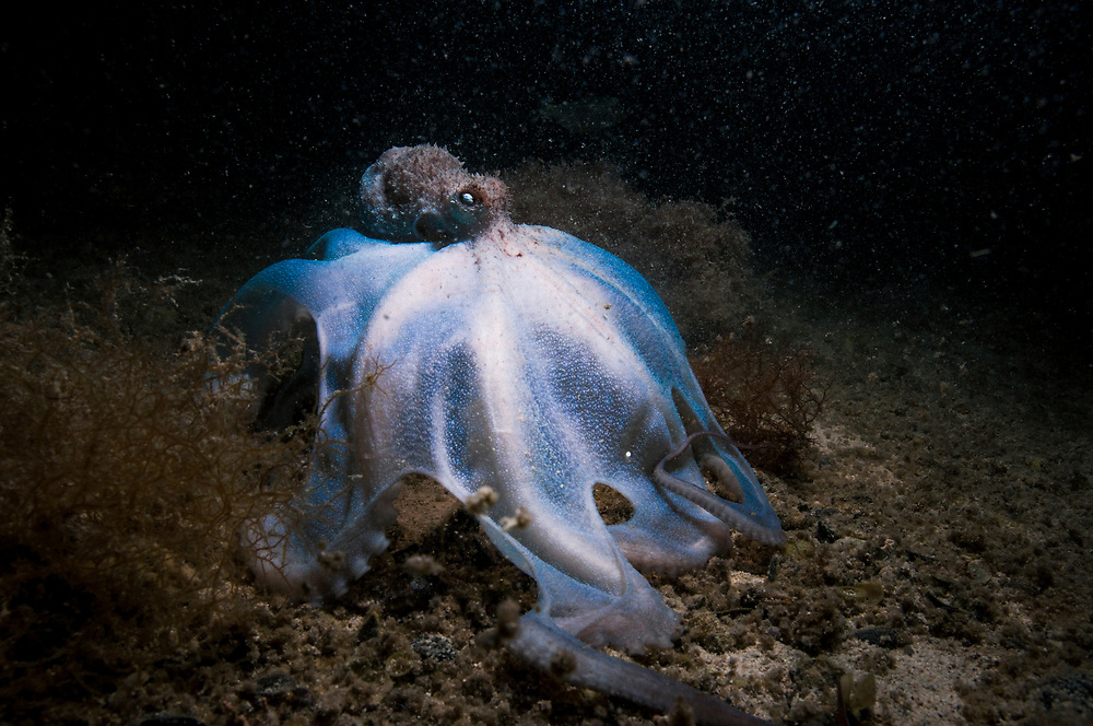 A Caribbean reef octopus (Octopus briareus) hunting in an alkaline pond in The Bahamas.