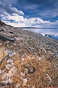 Herring Gulls & nest<br /> (Larus argentatus) Chick hatching<br /> Lake Hovskol<br /> Mongolia