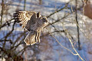 In Flight, Great Grey Owl, rodent meal, Jackson Hole, Wyoming