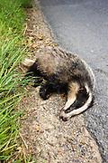 Dead badger roadkill, Sussex, England