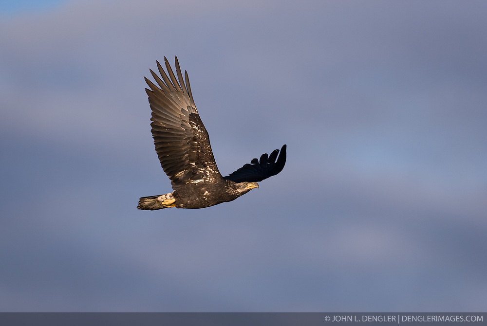 A juvenile bald eagle (Haliaeetus leucocephalus) flies above the Chilkat River in the Alaska Chilkat Bald Eagle Preserve near Haines, Alaska. During late fall, bald eagles congregate along the Chilkat River to feed on salmon. This gathering of bald eagles in the Alaska Chilkat Bald Eagle Preserve is believed to be one of the largest gatherings of bald eagles in the world.
