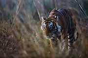 A soft-focus portrait of a male Bengal tiger walking through tall grass (Panthera tigris tigris), Ranthambhore National Park, Rajasthan, India,